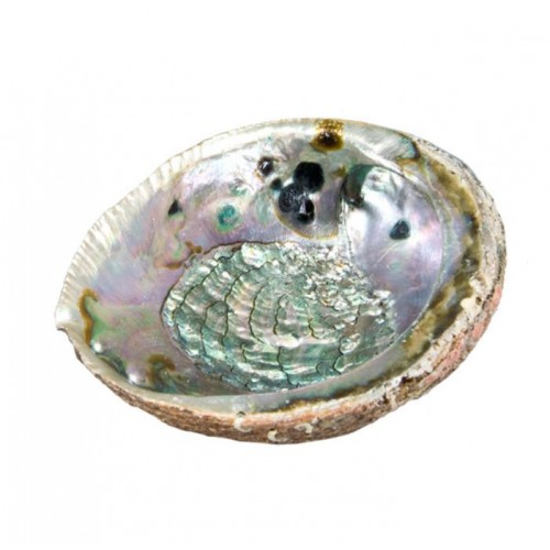 Abalone Shell - This Item Can Only Be Shipped In Canada